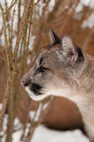 Jung Mountain Lion Royaltyfria Bilder