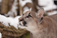 Jung Mountain Lion. Curious Jung Mountain Lion , Close up Stock Photography