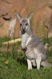 Jung red kangaroo, Megaleia rufa Stock Image