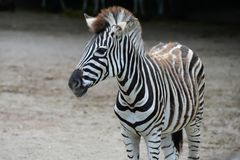 Jung striped зебра в зоопарке стоковые фото