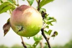 Jung, umweltfreundlich, Apfel auf einer Niederlassung eines Apfels t Stockfoto