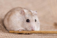 Jungar dwarf hamster eating seeds from the stalk of oats Stock Photos