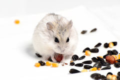 Jungar hamster Royalty Free Stock Photo