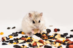 Jungar hamster Stock Photo