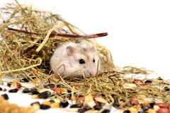 Jungar hamster Arkivfoton