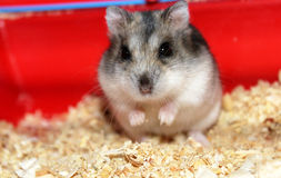 Jungar hamster. Royalty Free Stock Photography