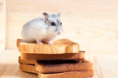 Jungar-Hamster auf Toast eines kleinen Brotes stockfoto