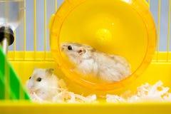 Jungar-Hamster, der in das Rad läuft Stockbilder