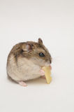 Hamster cheese Royalty Free Stock Images