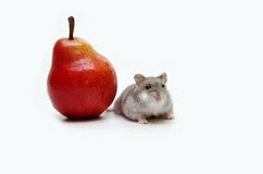 Jungar hamster Royalty Free Stock Photography