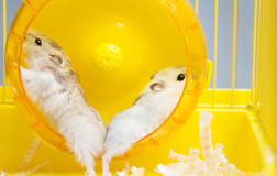 Jungar hamster running in the wheel Stock Images