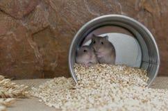 Jungar hamster Stock Photo