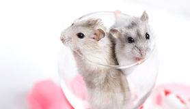Jungar hamsters in a transparent glass Stock Photo