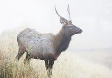 Jungbulle-Elche im Nebel Stockfotografie
