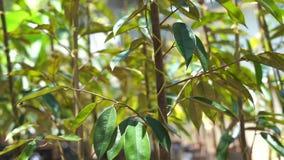 Jungduranbaum in der Baumschule stock footage