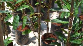 Jungduranbaum in der Baumschule stock video