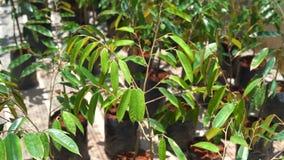 Jungduranbaum in der Baumschule stock video footage