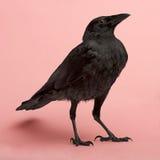 Junge Aas-Krähe - Corvus corone (3 Monate) Stockbilder