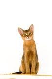 Junge abessinier Katze stockbild