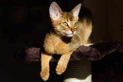 Junge abyssinische Katze Stockfotografie
