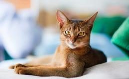 Junge abyssinische Katze Stockbild