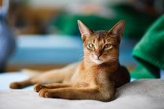 Junge abyssinische Katze Lizenzfreies Stockfoto