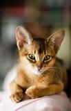 Junge abyssinische Katze Lizenzfreies Stockbild