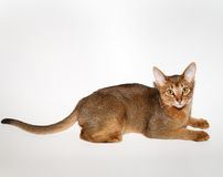 Junge abyssinische Katze Lizenzfreie Stockbilder