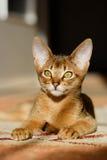 Junge abyssinische Katze in der Tätigkeit Stockfotos