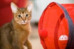 Junge abyssinische Katze in der Tätigkeit Lizenzfreie Stockfotos