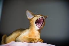 Junge abyssinische Katze in der Tätigkeit lizenzfreie stockbilder