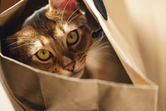 Junge abyssinische Katze in der Tasche auf Tabelle Lizenzfreies Stockbild