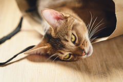 Junge abyssinische Katze in der Tasche auf Tabelle Stockfoto