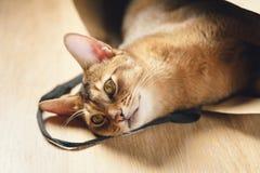 Junge abyssinische Katze in der Tasche auf Tabelle Lizenzfreies Stockfoto