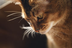 Junge abyssinische Katze in der Tasche auf Tabelle Lizenzfreie Stockfotos
