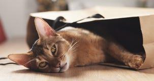 Junge abyssinische Katze in der Tasche auf Tabelle Lizenzfreie Stockbilder