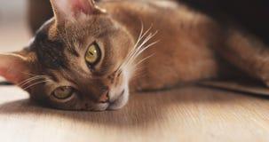 Junge abyssinische Katze in der Tasche auf Tabelle Stockbilder
