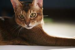 Junge abyssinische Katze, die auf dem Boden liegt Stockfotografie