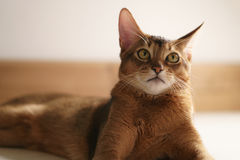 Junge abyssinische Katze, die auf dem Boden sitzt Stockfoto