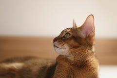 Junge abyssinische Katze, die auf dem Boden sitzt Lizenzfreie Stockbilder