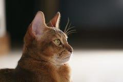 Junge abyssinische Katze, die auf dem Boden sitzt Lizenzfreies Stockbild