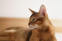 Junge abyssinische Katze, die auf dem Boden sitzt Stockbilder