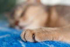Junge abyssinische Katze, die auf einer blauen Plaidnahaufnahme schläft Lizenzfreie Stockfotografie