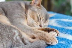 Junge abyssinische Katze, die auf einer blauen Plaidnahaufnahme schläft Lizenzfreies Stockfoto