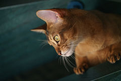 Junge abyssinische Katze, die auf Treppe sitzt Stockfotografie