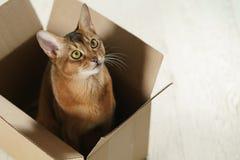 Junge abyssinische Katze, die in der Pappschachtel auf dem Boden sitzt Stockfoto