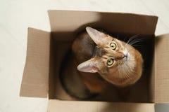 Junge abyssinische Katze, die in der Pappschachtel auf dem Boden sitzt Lizenzfreie Stockfotografie