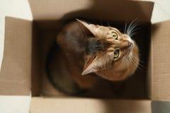 Junge abyssinische Katze, die in der Pappschachtel auf dem Boden sitzt Lizenzfreies Stockbild