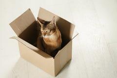 Junge abyssinische Katze, die in der Pappschachtel auf dem Boden sitzt Stockbilder