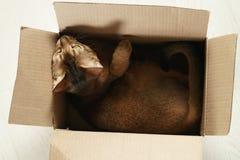 Junge abyssinische Katze, die in der Pappschachtel auf dem Boden sitzt Lizenzfreies Stockfoto